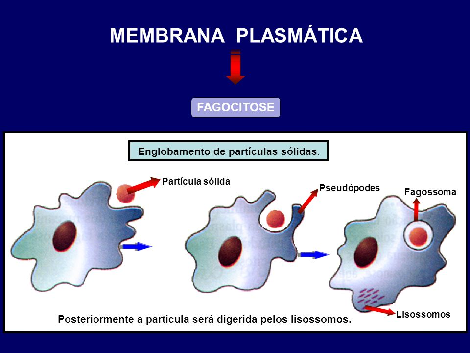 MEMBRANA PLASMÁTICA FAGOCITOSE Englobamento de partículas sólidas.