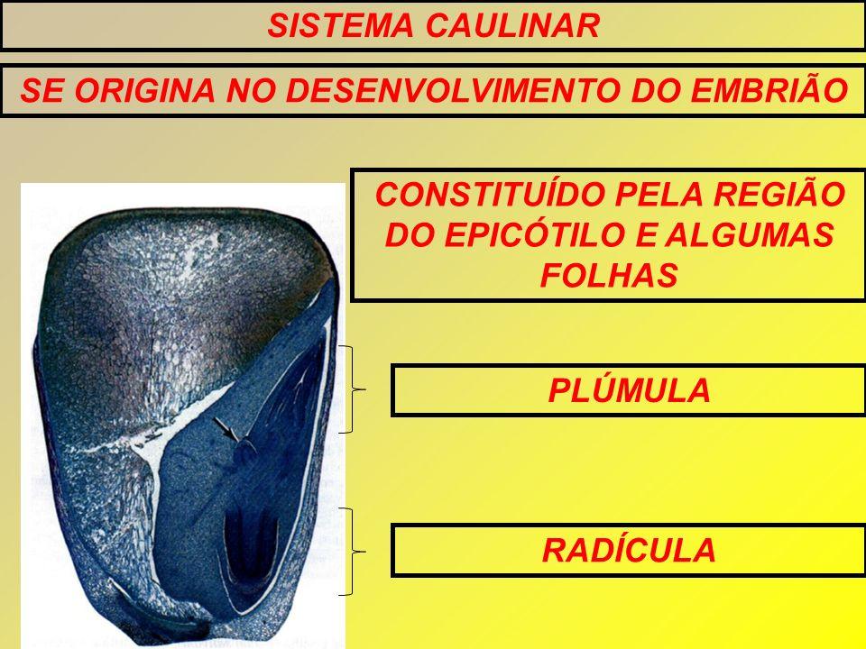SE ORIGINA NO DESENVOLVIMENTO DO EMBRIÃO