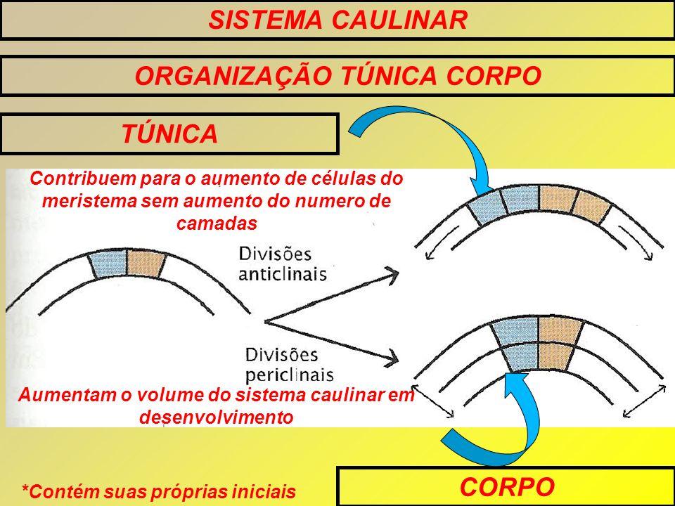 SISTEMA CAULINAR ORGANIZAÇÃO TÚNICA CORPO TÚNICA CORPO