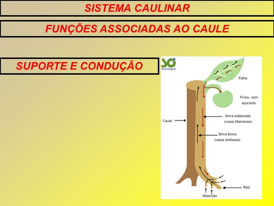 FUNÇÕES ASSOCIADAS AO CAULE