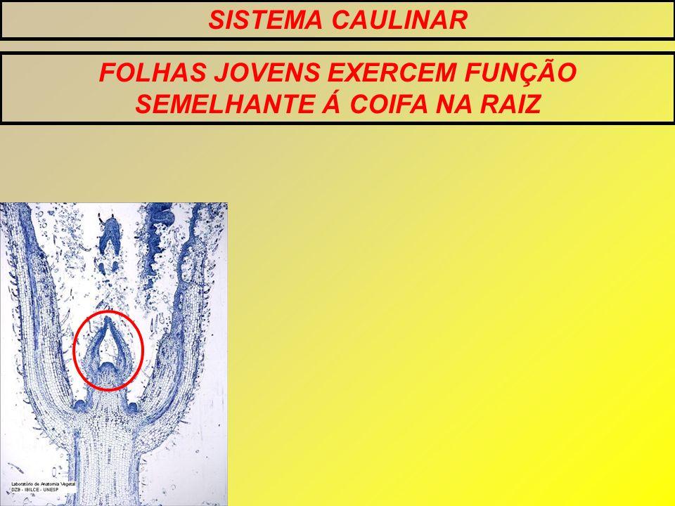 FOLHAS JOVENS EXERCEM FUNÇÃO SEMELHANTE Á COIFA NA RAIZ