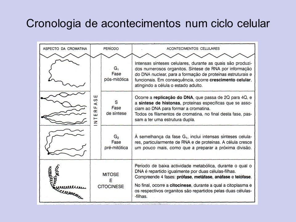 Cronologia de acontecimentos num ciclo celular