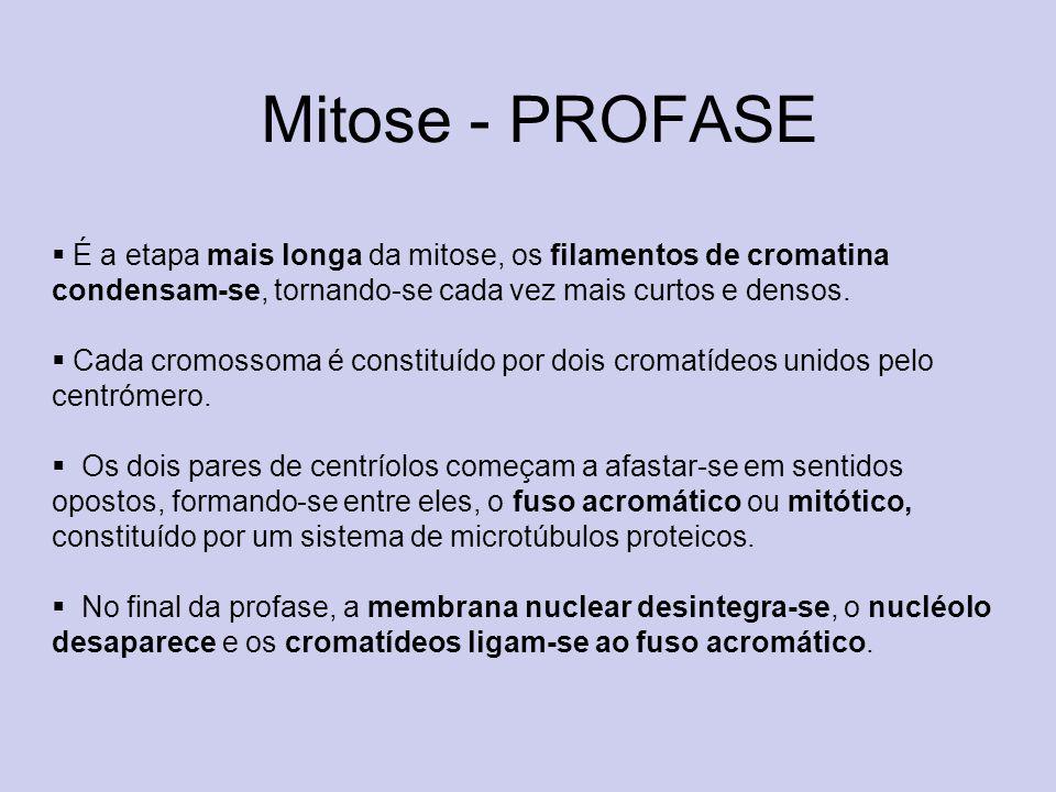 Mitose - PROFASEÉ a etapa mais longa da mitose, os filamentos de cromatina condensam-se, tornando-se cada vez mais curtos e densos.