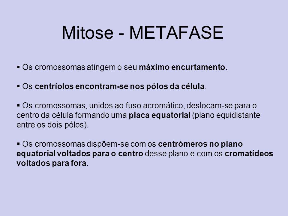 Mitose - METAFASE Os cromossomas atingem o seu máximo encurtamento.