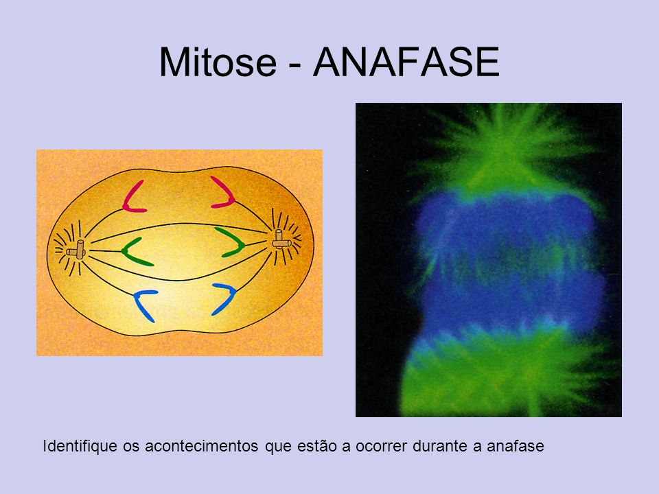 Mitose - ANAFASE Identifique os acontecimentos que estão a ocorrer durante a anafase
