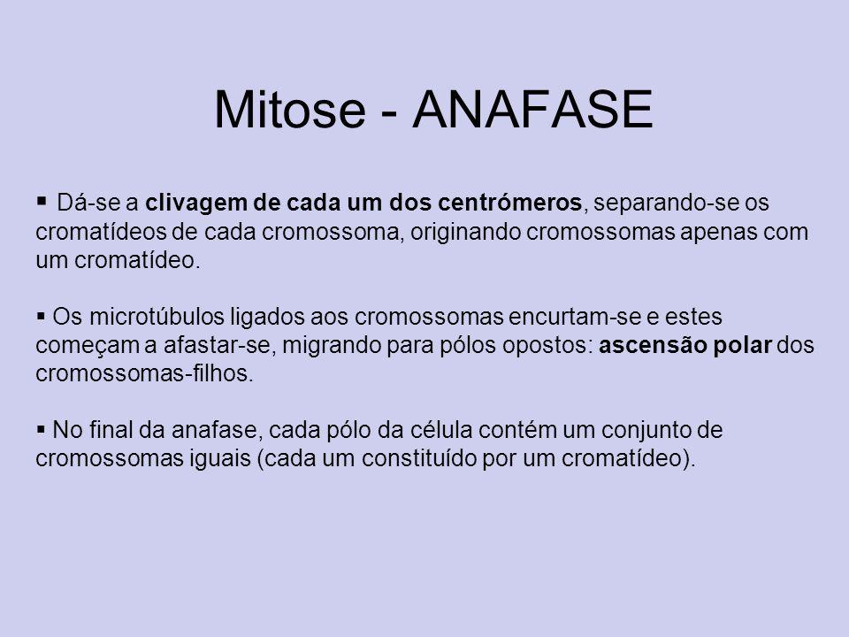 Mitose - ANAFASE