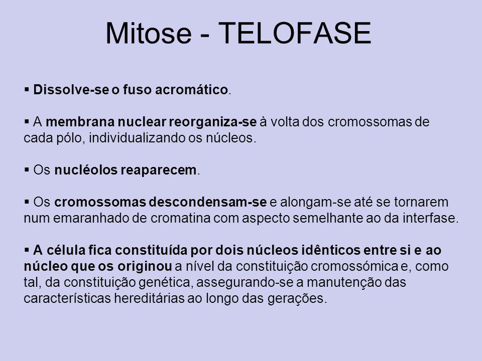 Mitose - TELOFASE Dissolve-se o fuso acromático.