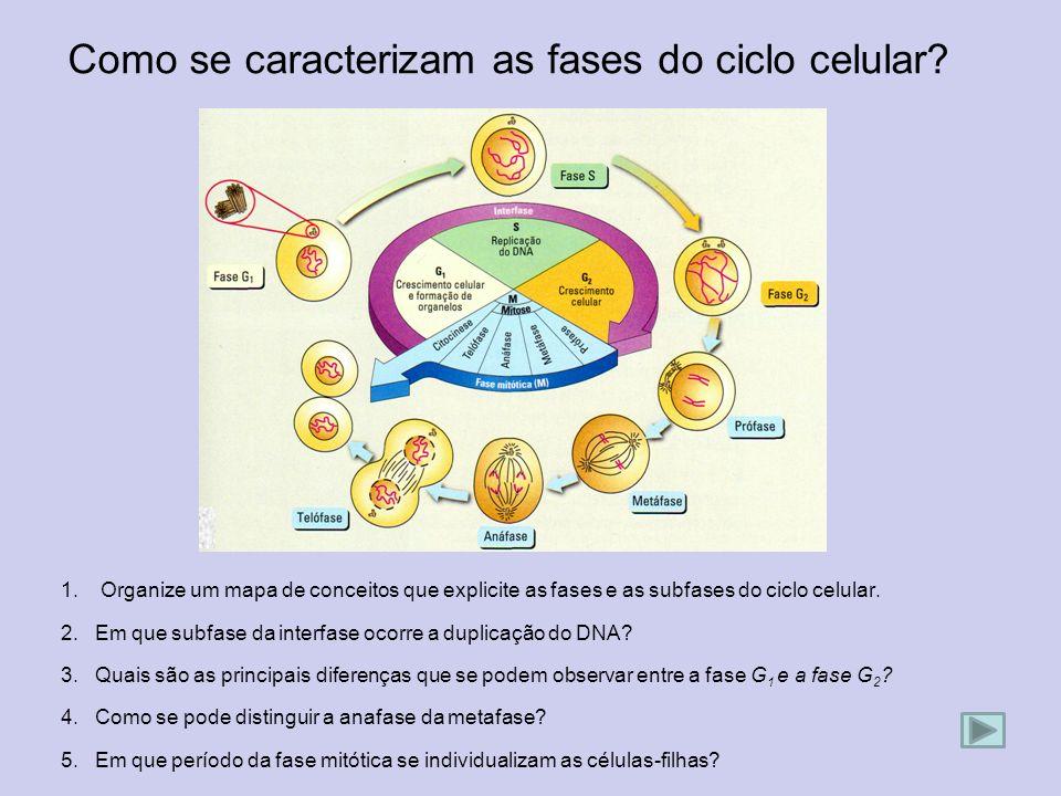 Como se caracterizam as fases do ciclo celular