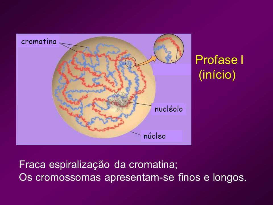 Profase I (início) Fraca espiralização da cromatina;