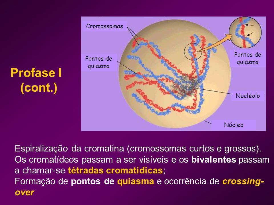 Cromossomas Núcleo. Nucléolo. Pontos de quiasma. Profase I. (cont.)