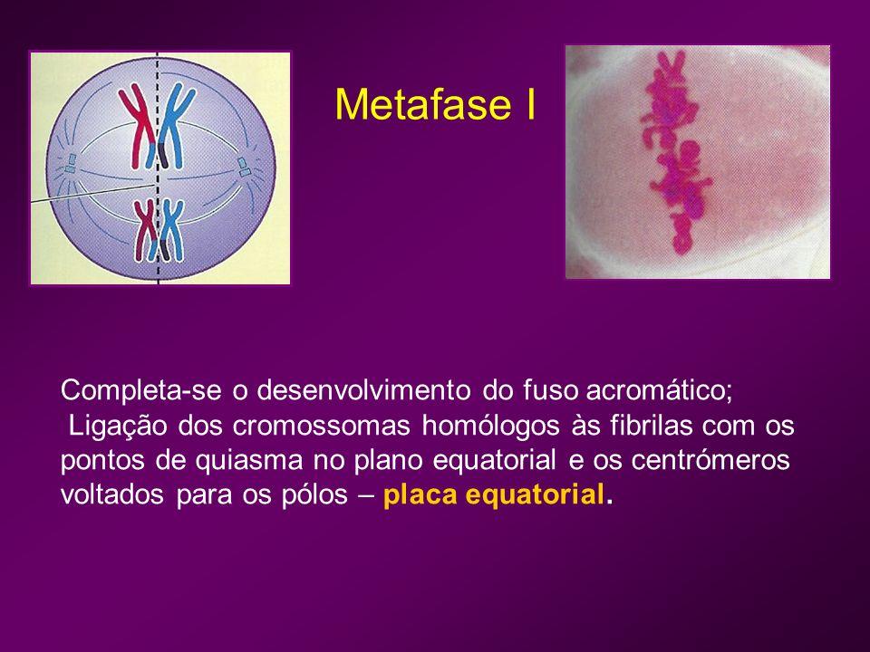Metafase I Completa-se o desenvolvimento do fuso acromático;
