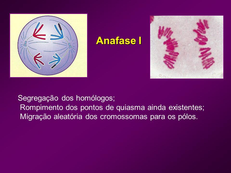 Anafase I Segregação dos homólogos;
