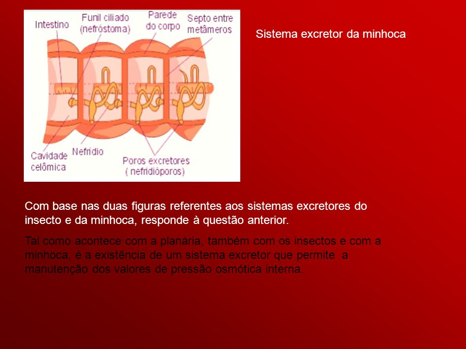 Sistema excretor da minhoca