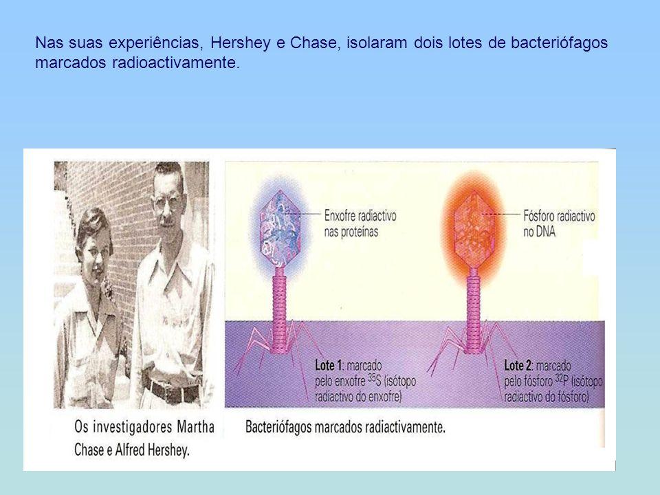 Nas suas experiências, Hershey e Chase, isolaram dois lotes de bacteriófagos marcados radioactivamente.