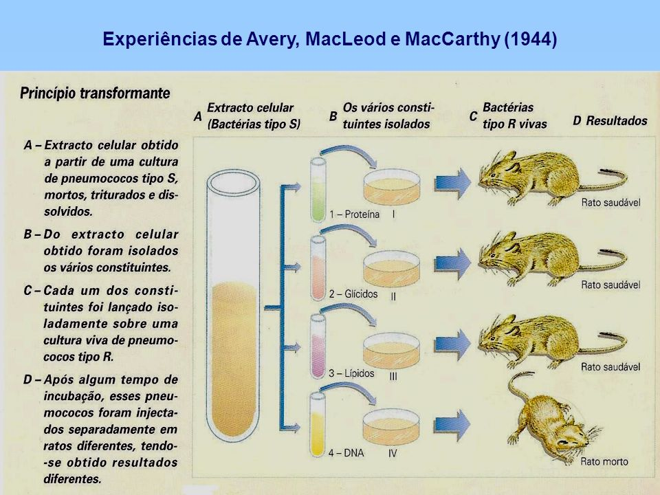 Experiências de Avery, MacLeod e MacCarthy (1944)