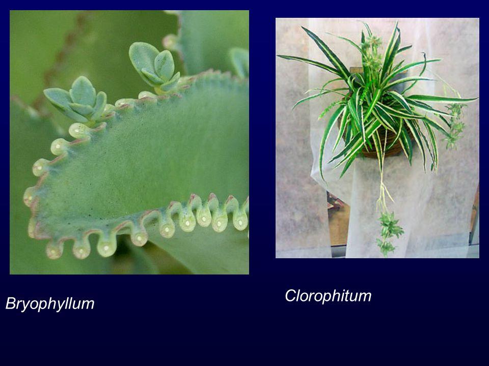 Clorophitum Bryophyllum