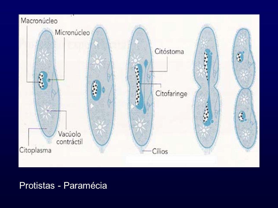 Protistas - Paramécia