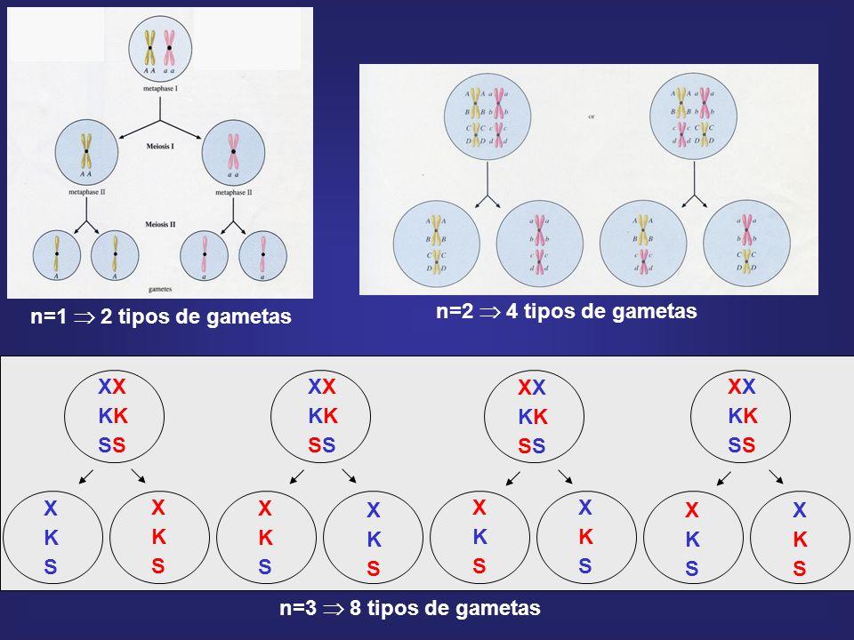 n=1  2 tipos de gametas n=2  4 tipos de gametas XX KK SS X K S n=3  8 tipos de gametas