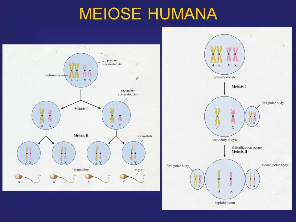 MEIOSE HUMANA