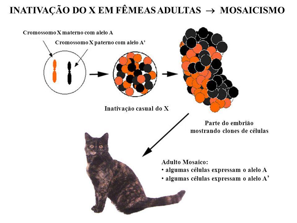 INATIVAÇÃO DO X EM FÊMEAS ADULTAS  MOSAICISMO
