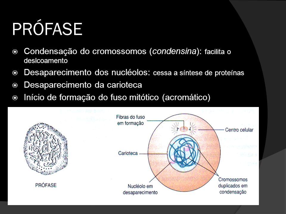 PRÓFASE Condensação do cromossomos (condensina): facilita o deslcoamento. Desaparecimento dos nucléolos: cessa a síntese de proteínas.