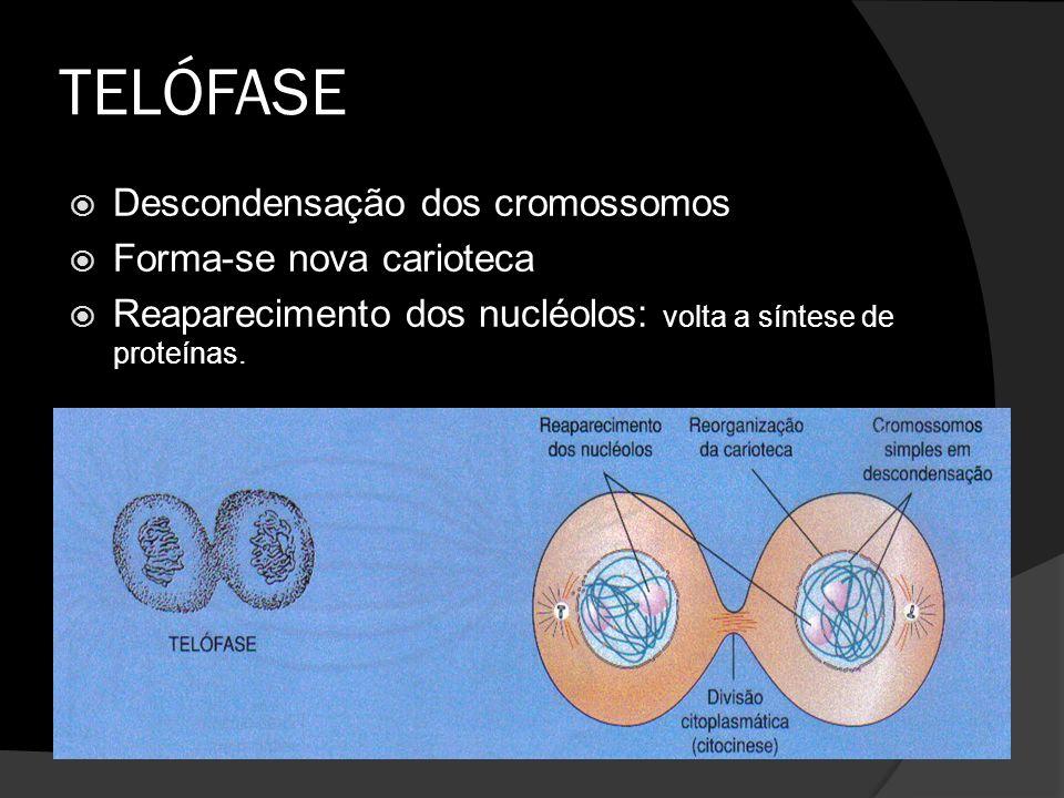 TELÓFASE Descondensação dos cromossomos Forma-se nova carioteca