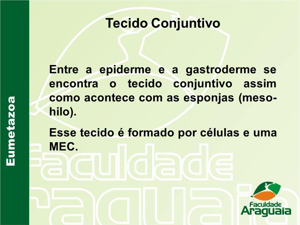 Tecido Conjuntivo Entre a epiderme e a gastroderme se encontra o tecido conjuntivo assim como acontece com as esponjas (meso-hilo).