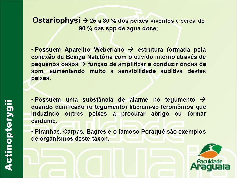 Ostariophysi  25 a 30 % dos peixes viventes e cerca de 80 % das spp de água doce;