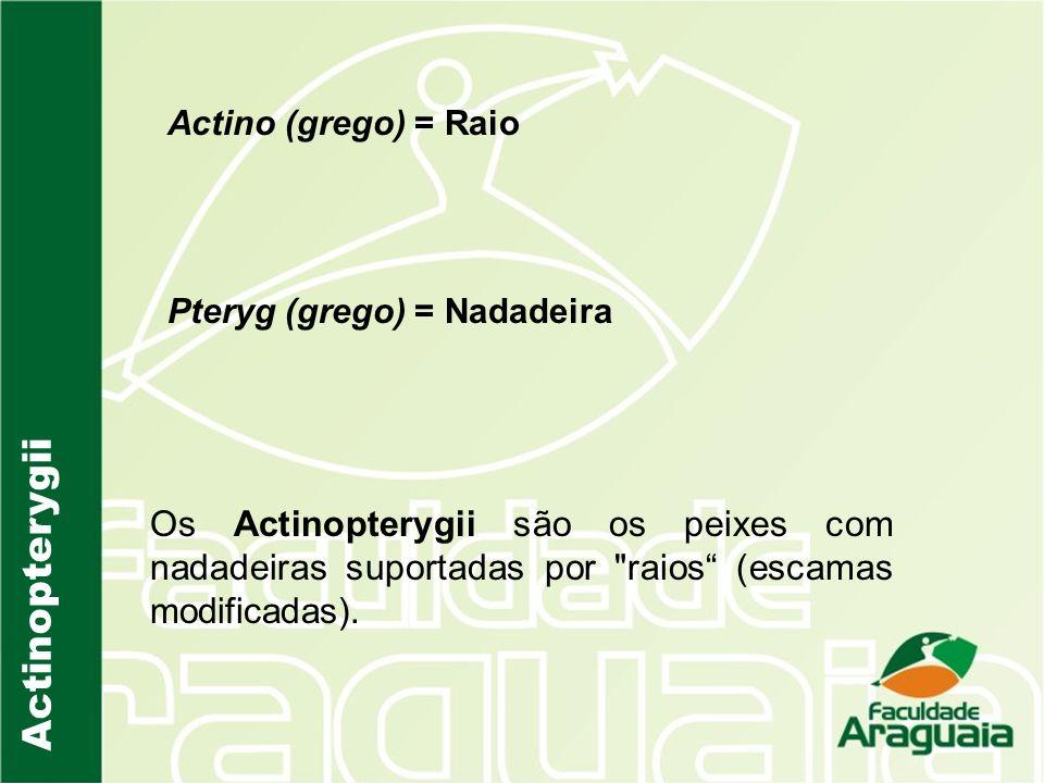 Actino (grego) = Raio Pteryg (grego) = Nadadeira. Actinopterygii.
