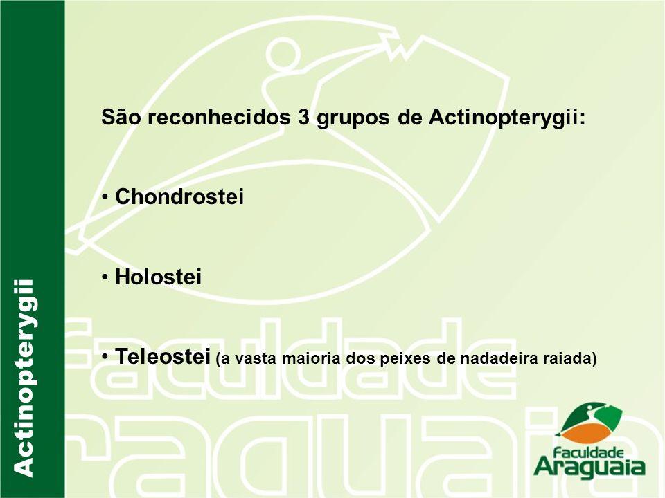 Actinopterygii São reconhecidos 3 grupos de Actinopterygii: