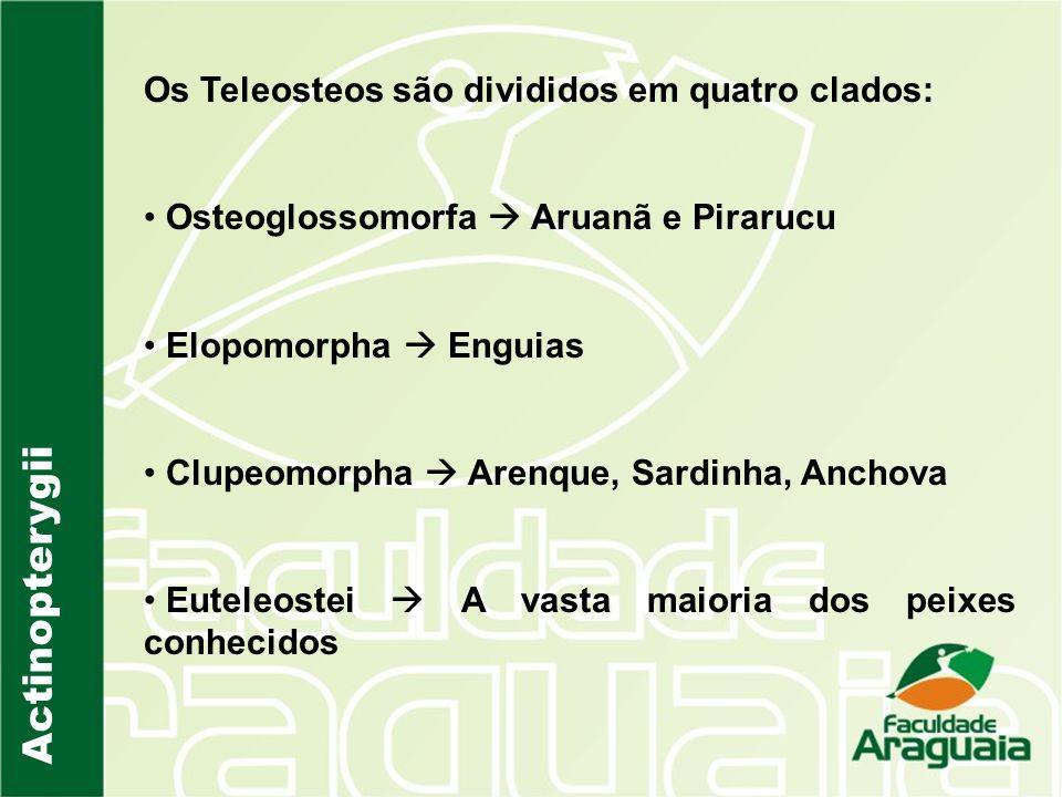 Actinopterygii Os Teleosteos são divididos em quatro clados: