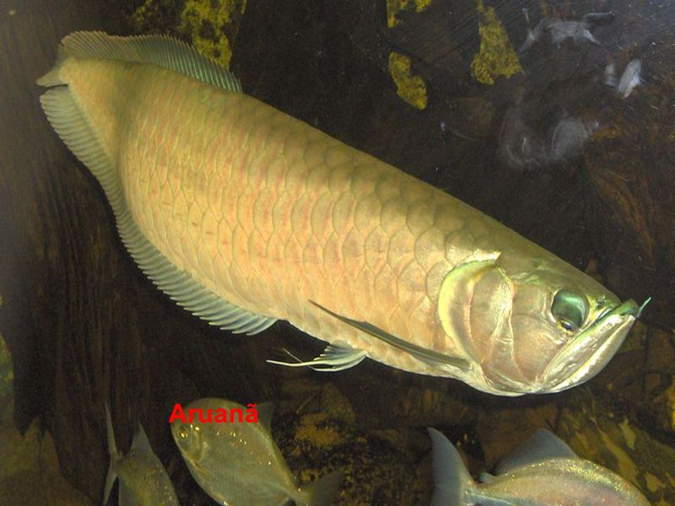 Actinopterygii Aruanã