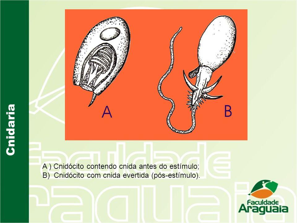 Cnidaria A ) Cnidócito contendo cnida antes do estímulo;