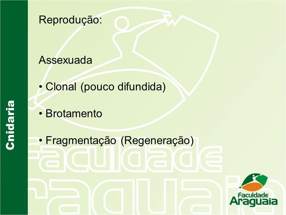 Reprodução: Assexuada Clonal (pouco difundida) Brotamento Fragmentação (Regeneração) Cnidaria