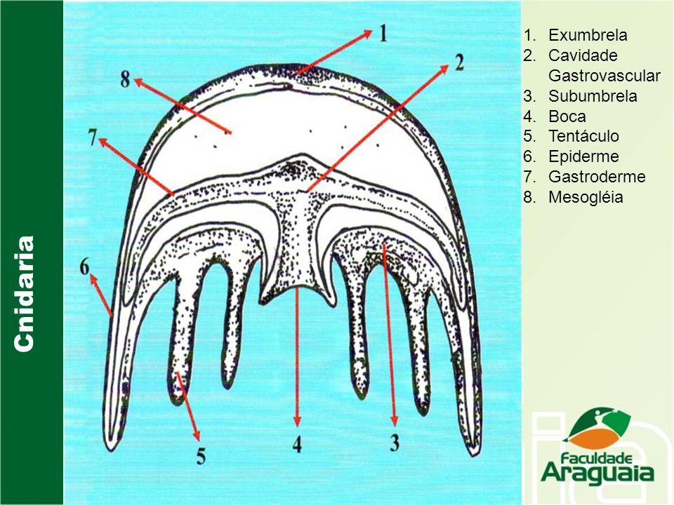 Cnidaria Exumbrela Cavidade Gastrovascular Subumbrela Boca Tentáculo