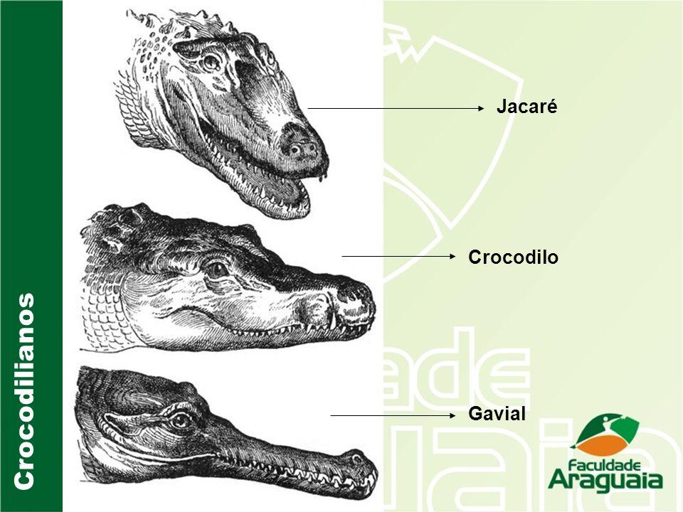 Jacaré Crocodilo Crocodilianos Gavial