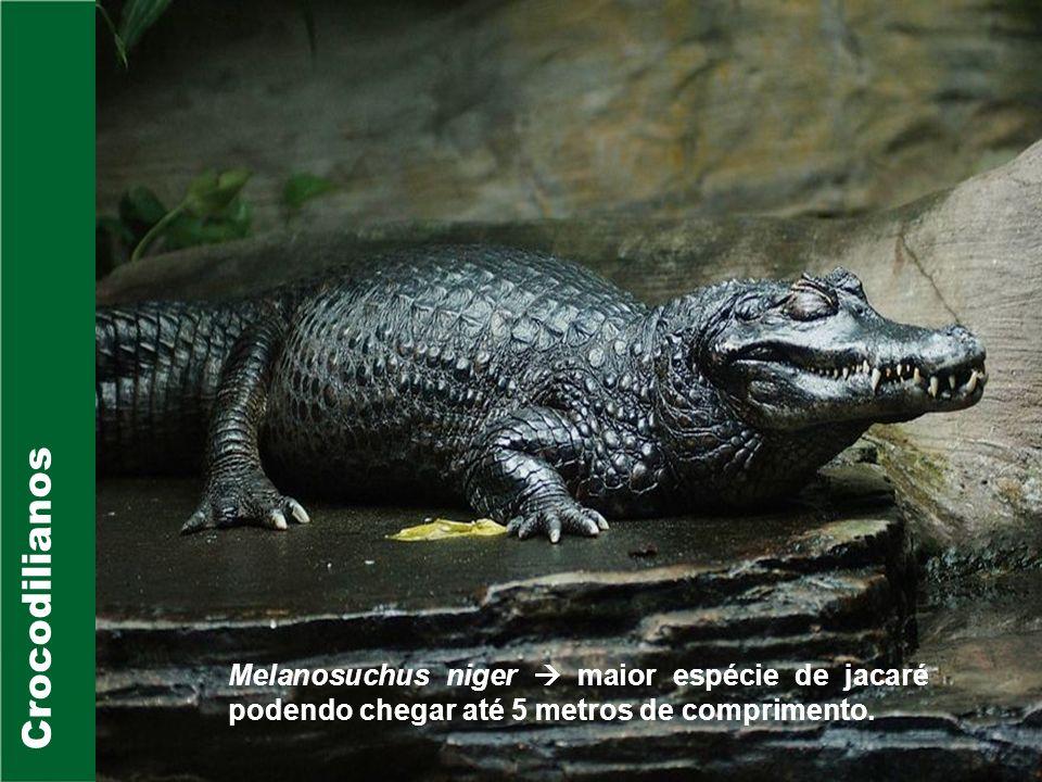 CrocodilianosMelanosuchus niger  maior espécie de jacaré podendo chegar até 5 metros de comprimento.