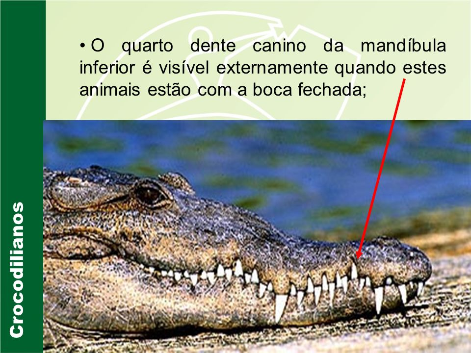 O quarto dente canino da mandíbula inferior é visível externamente quando estes animais estão com a boca fechada;
