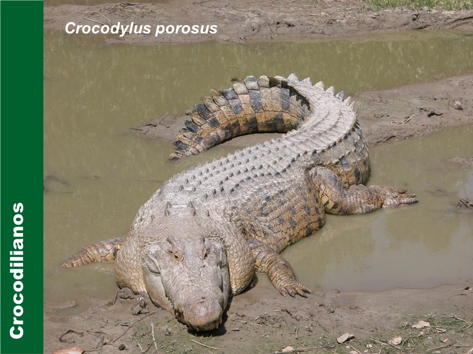 Crocodylus porosus Crocodilianos