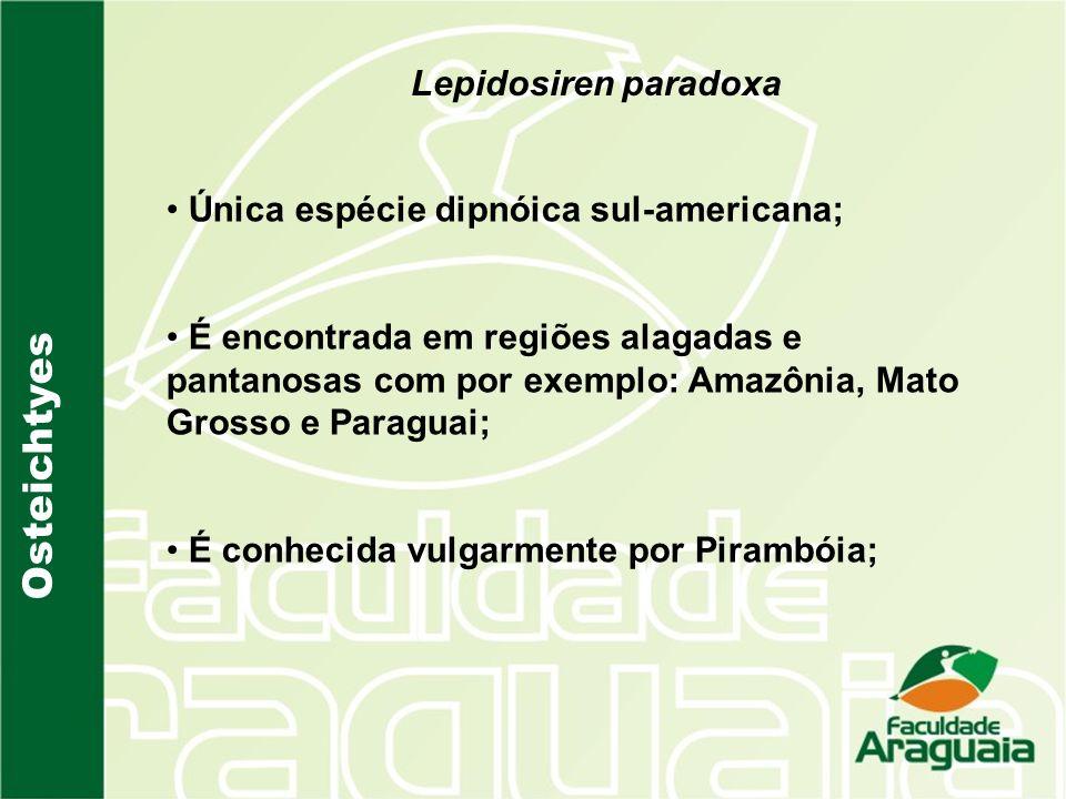 Osteichtyes Lepidosiren paradoxa Única espécie dipnóica sul-americana;