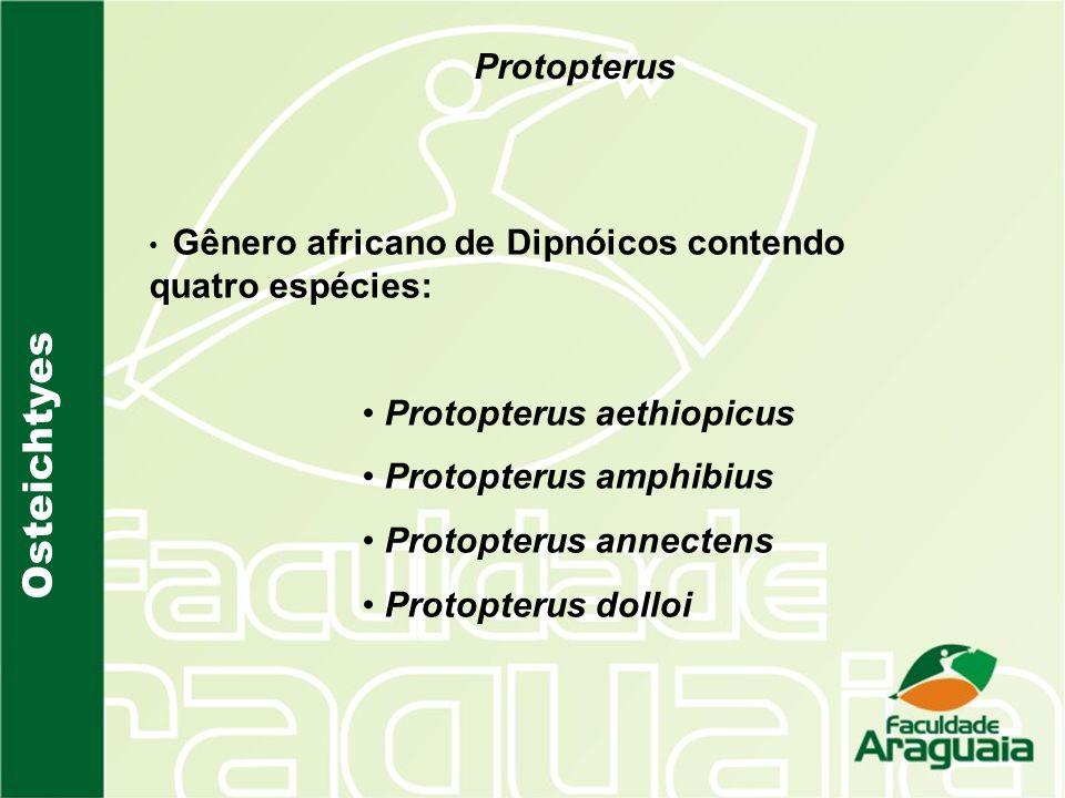 Osteichtyes Protopterus Protopterus aethiopicus Protopterus amphibius