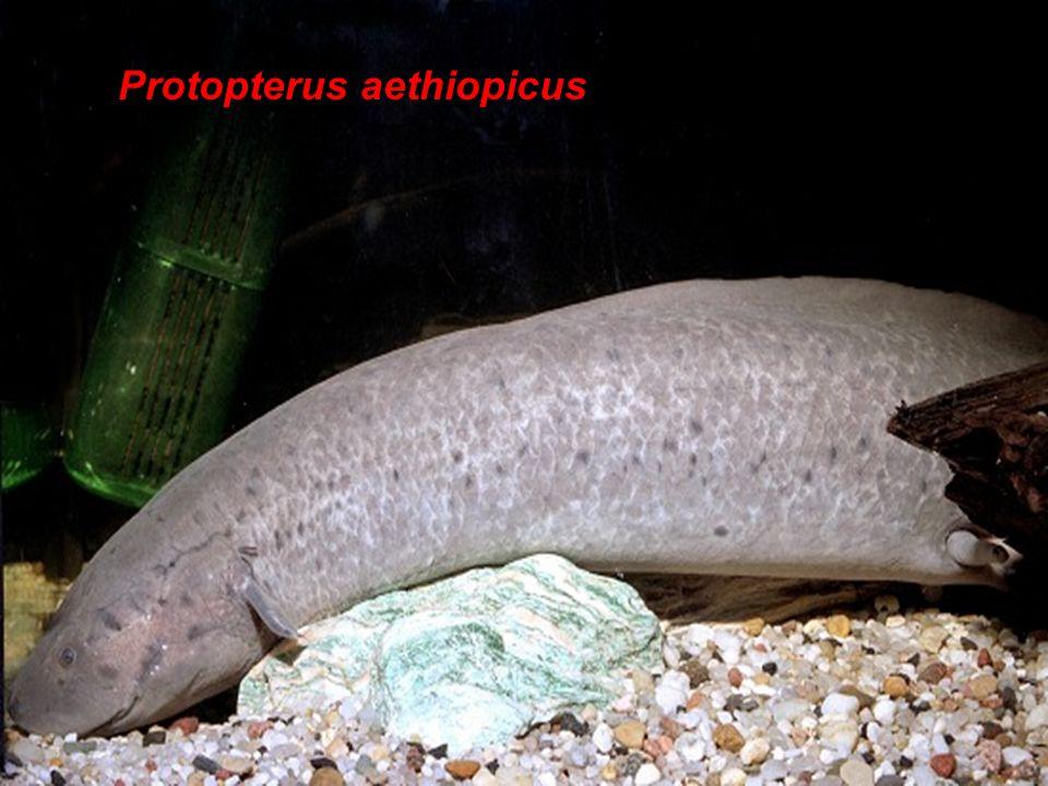 Protopterus aethiopicus