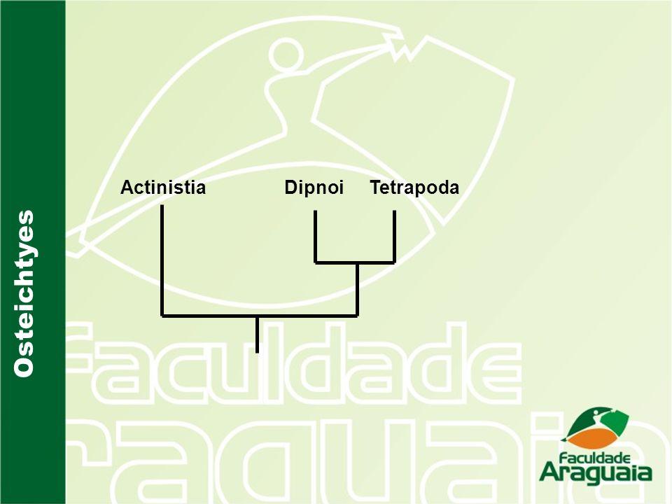 Actinistia Tetrapoda Dipnoi Osteichtyes