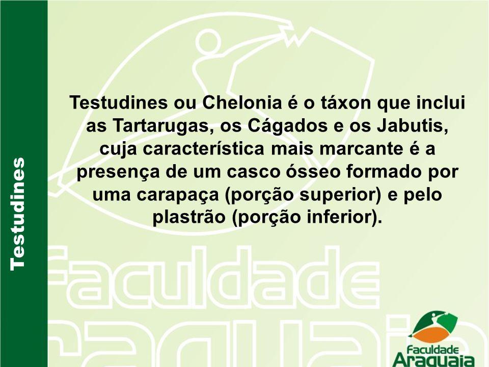Testudines ou Chelonia é o táxon que inclui as Tartarugas, os Cágados e os Jabutis, cuja característica mais marcante é a presença de um casco ósseo formado por uma carapaça (porção superior) e pelo plastrão (porção inferior).