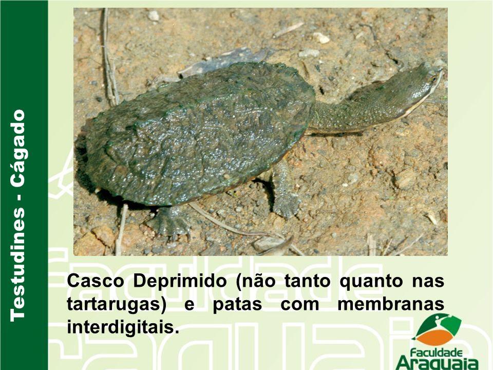 Testudines - Cágado Casco Deprimido (não tanto quanto nas tartarugas) e patas com membranas interdigitais.