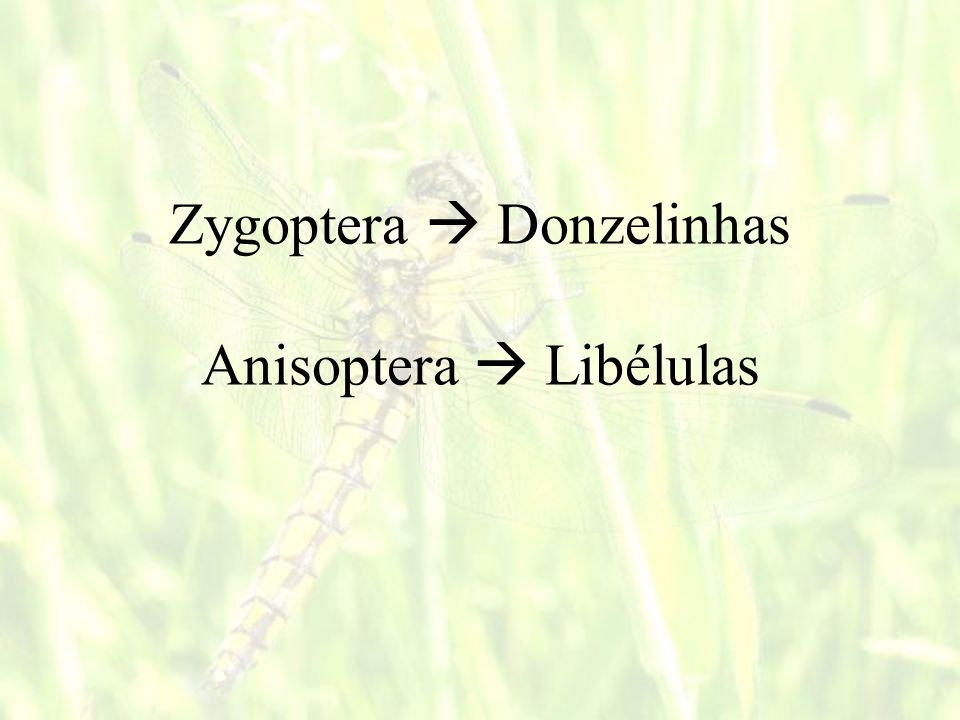 Zygoptera  Donzelinhas Anisoptera  Libélulas