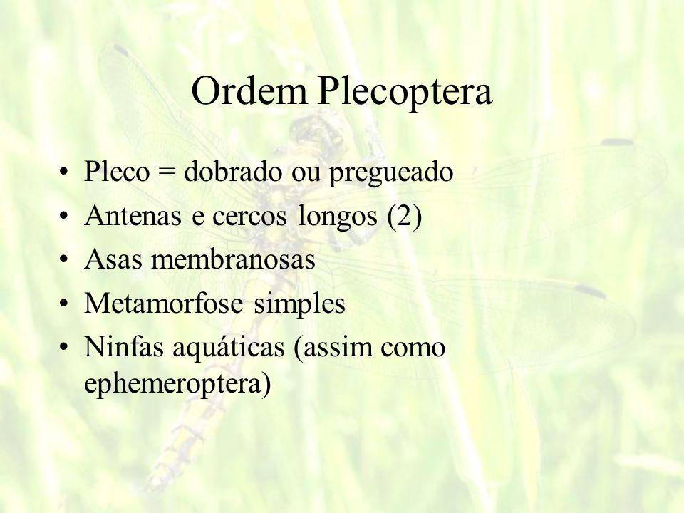 Ordem Plecoptera Pleco = dobrado ou pregueado