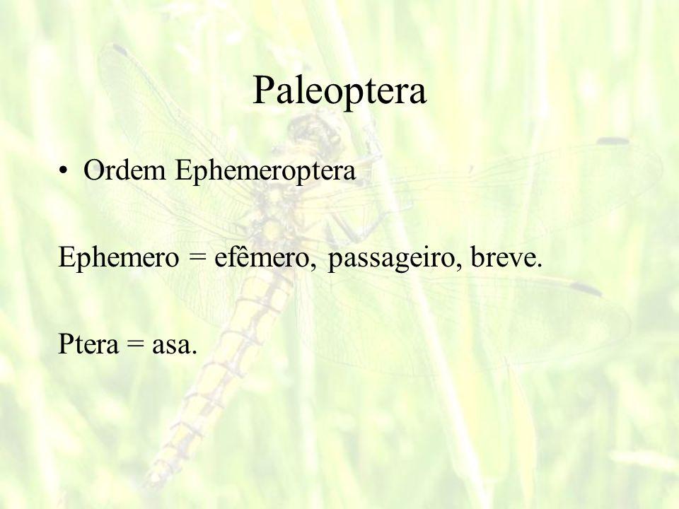 Paleoptera Ordem Ephemeroptera Ephemero = efêmero, passageiro, breve.