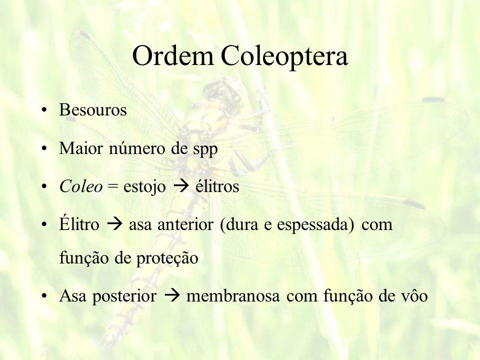 Ordem Coleoptera Besouros Maior número de spp Coleo = estojo  élitros