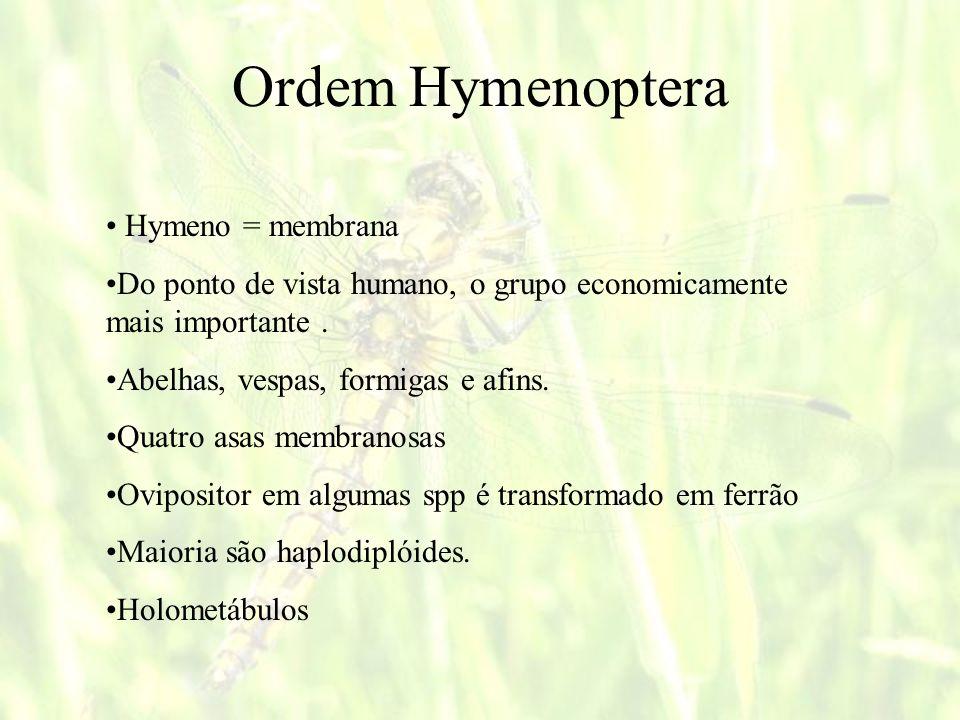 Ordem Hymenoptera Hymeno = membrana